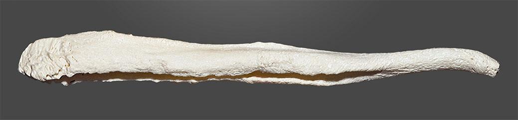 osso penico