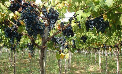 vigneto-vino-rosso-montepulciano.min_